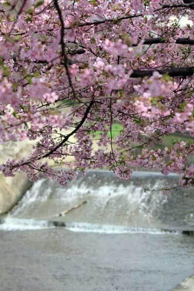 180315河津桜2