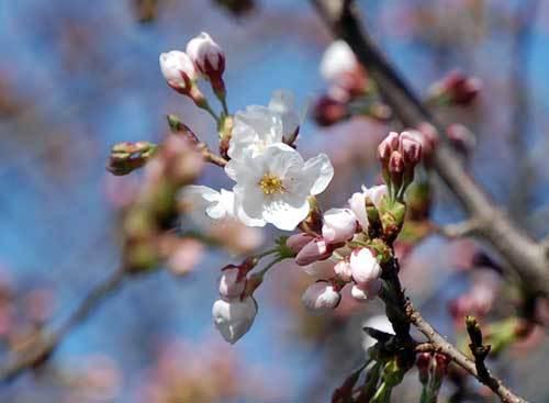 180325桜2