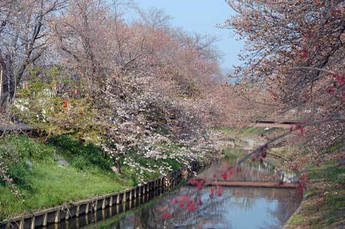 180325佐保川桜