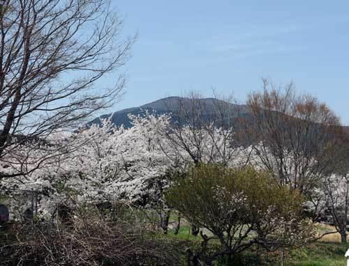 180329葛城山桜