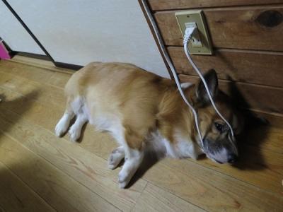 マズルをコードに掛けて寝る犬