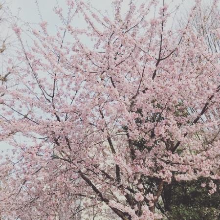 要桜咲く2