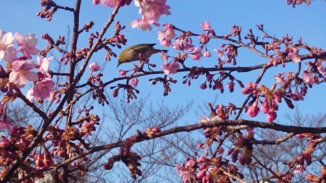 桜にメジロ (1)