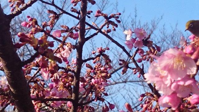 桜にメジロ (3)