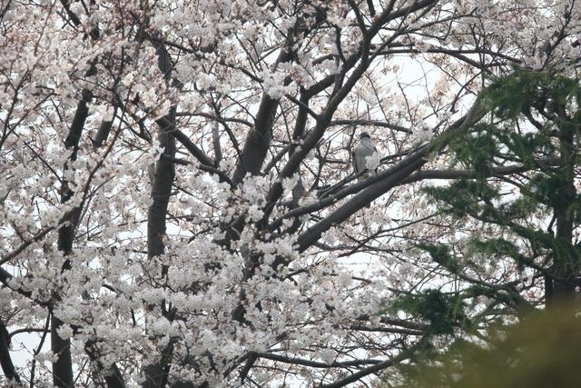 桜オオタカ (1)