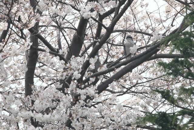 桜オオタカ (2)