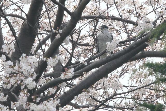 桜オオタカ (3)
