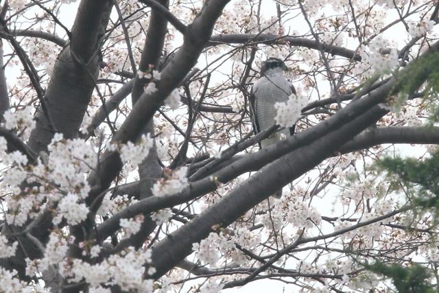 桜オオタカ (4)