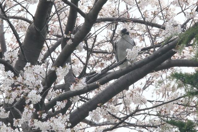 桜オオタカ (5)