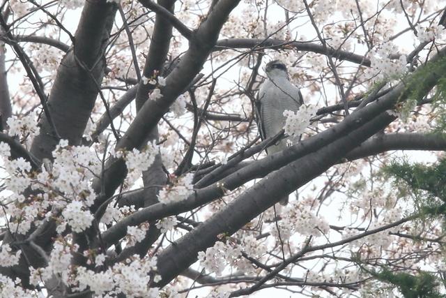 桜オオタカ (6)