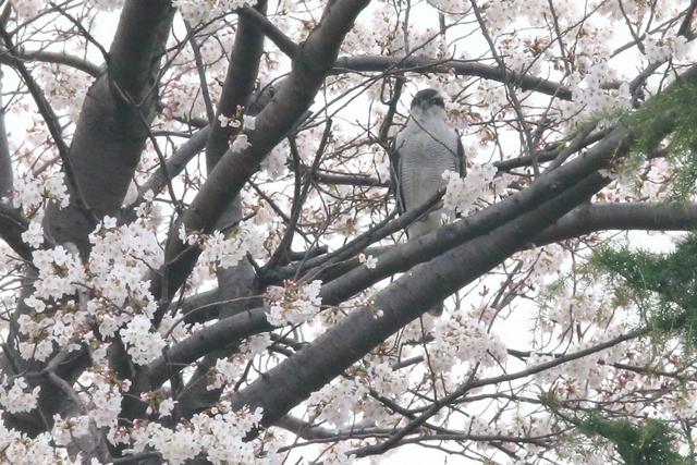桜オオタカ (7)