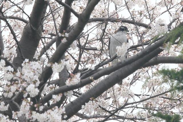 桜オオタカ (8)