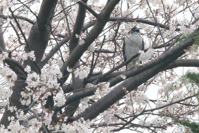 桜オオタカ (9)