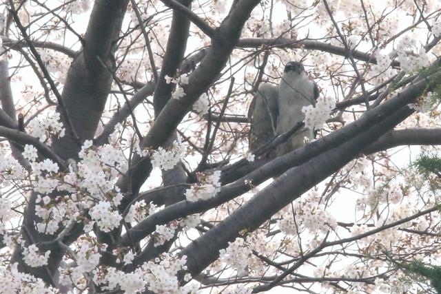 桜オオタカ (10)