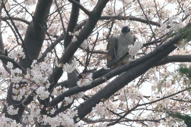 桜オオタカ (11)