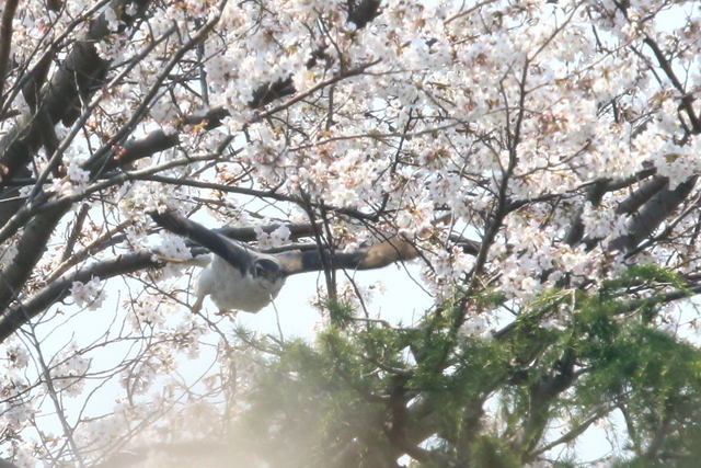 桜オオタカ (12)