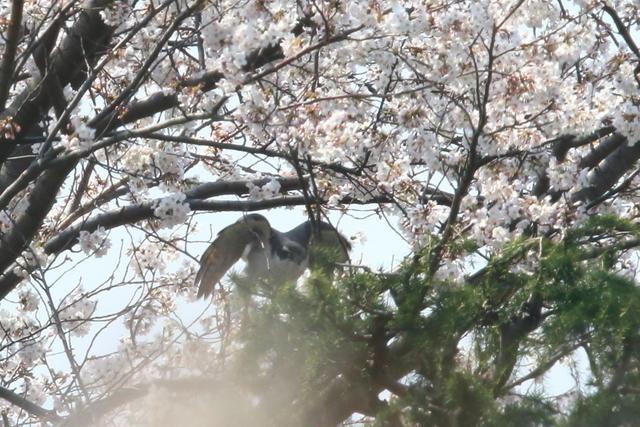 桜オオタカ (13)