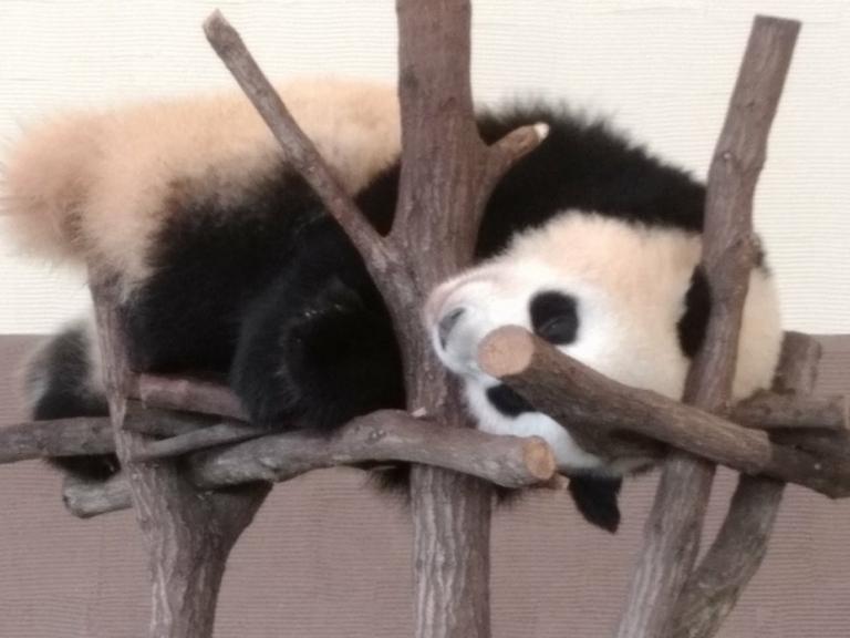 寝転がりパンダ