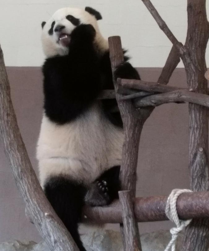 登りパンダ