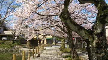 大手彫り桜①