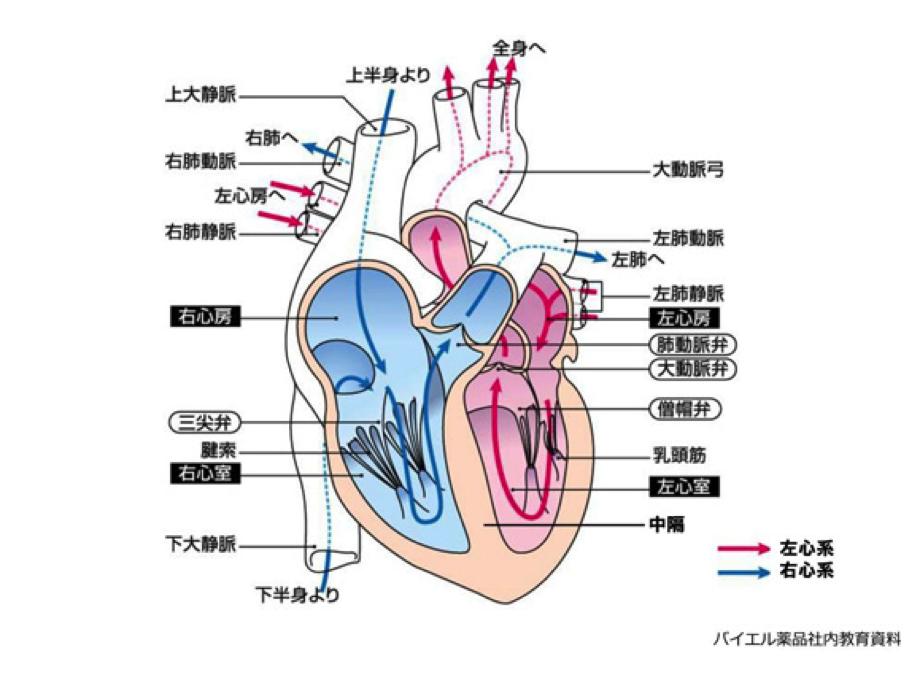 心臓 画像