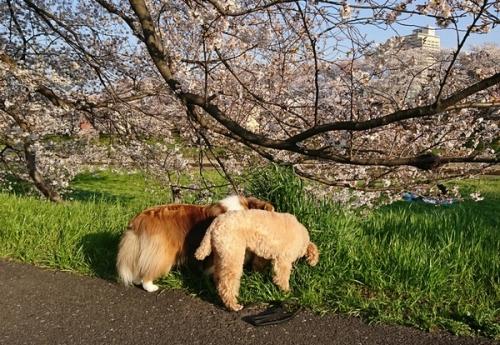 2018の桜