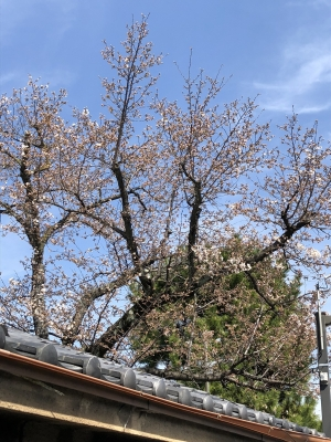 桜180324KO1