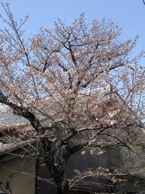 桜180324KO2