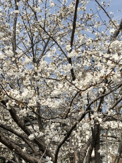 桜180326SK1