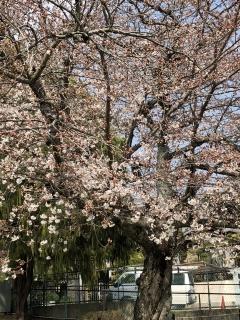 桜180326SK2
