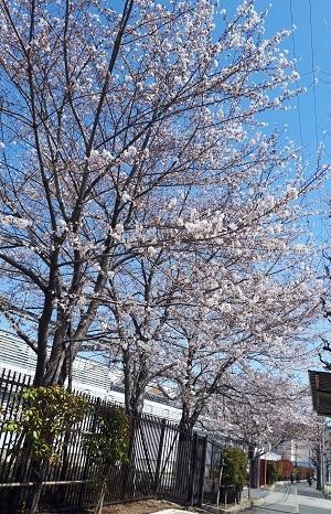 桜 20180325_132544