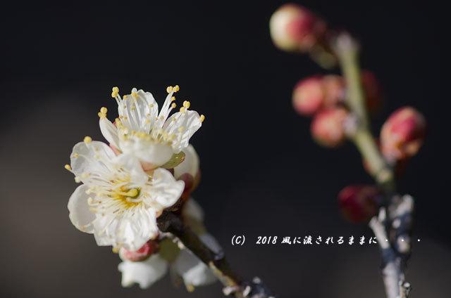 大阪 道明寺天満宮 梅と水仙の花 2018年2月4日撮影3