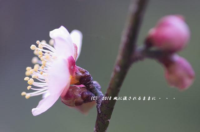 大阪 道明寺天満宮 梅と水仙の花 2018年2月4日撮影7
