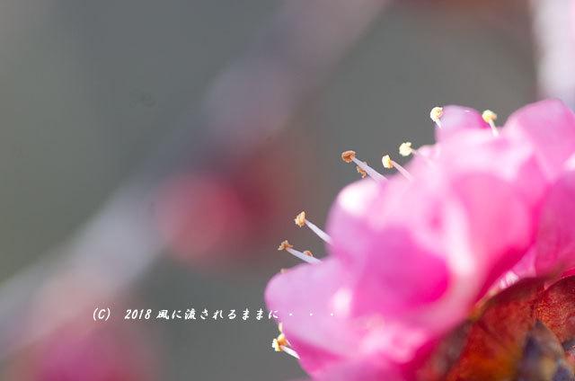 大阪 道明寺天満宮 梅と水仙の花 2018年2月4日撮影9