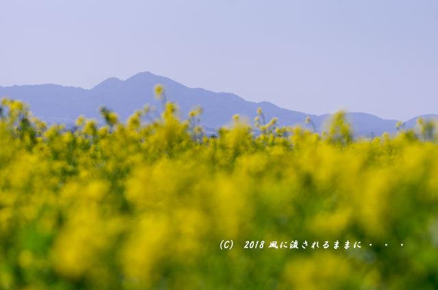奈良・山の辺の道 菜の花と二上山2