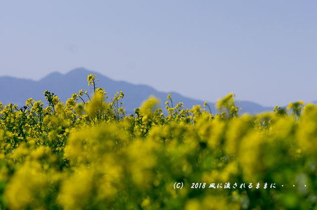 奈良・山の辺の道 菜の花と二上山3