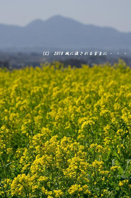 奈良・山の辺の道 菜の花と二上山4