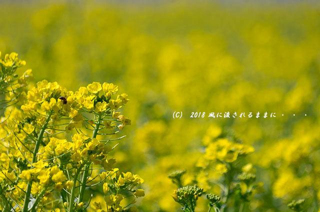 奈良・山の辺の道 菜の花と二上山5