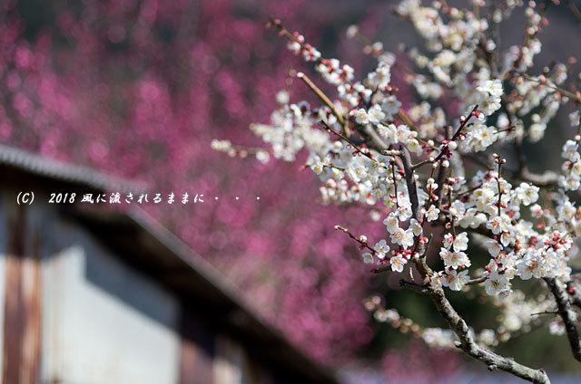 奈良・山の辺の道 菜の花と二上山6