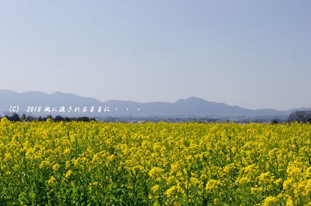 奈良・山の辺の道 菜の花と二上山1