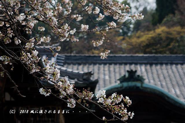 京都・大石神社 大石桜 2018年3月25日撮影12