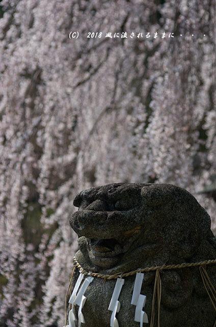 京都・大石神社 大石桜 2018年3月25日撮影8
