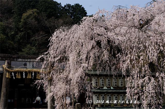 京都・大石神社 大石桜 2018年3月25日撮影2