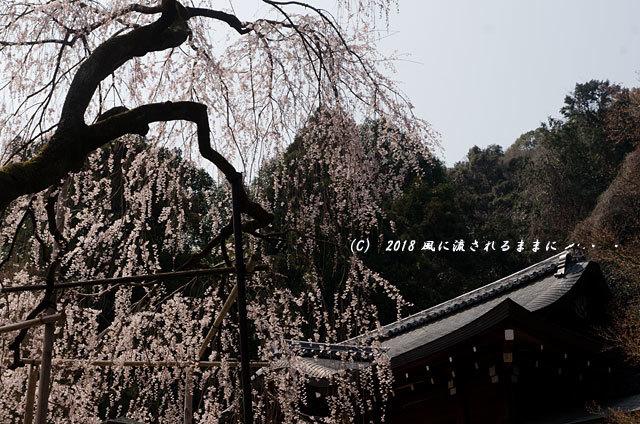 京都・大石神社 大石桜 2018年3月25日撮影4