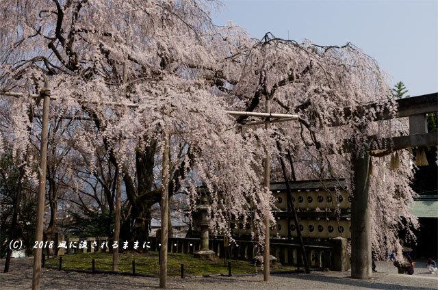 京都・大石神社 大石桜 2018年3月25日撮影7