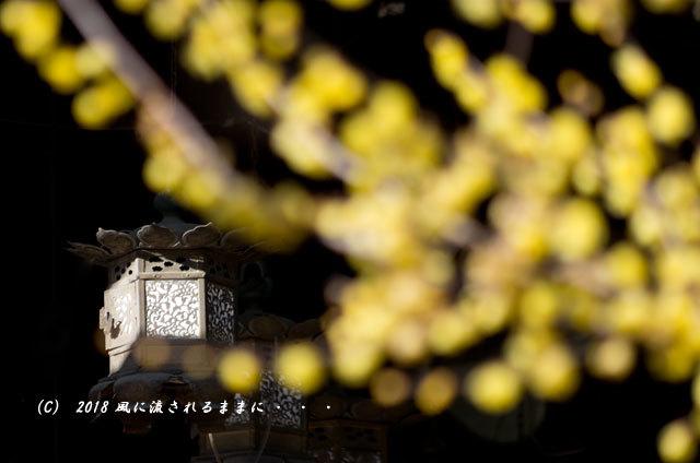 大阪 道明寺天満宮 蝋梅 2018年2月4日撮影2
