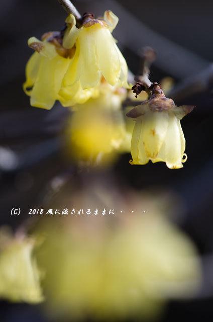 大阪 道明寺天満宮 蝋梅 2018年2月4日撮影1