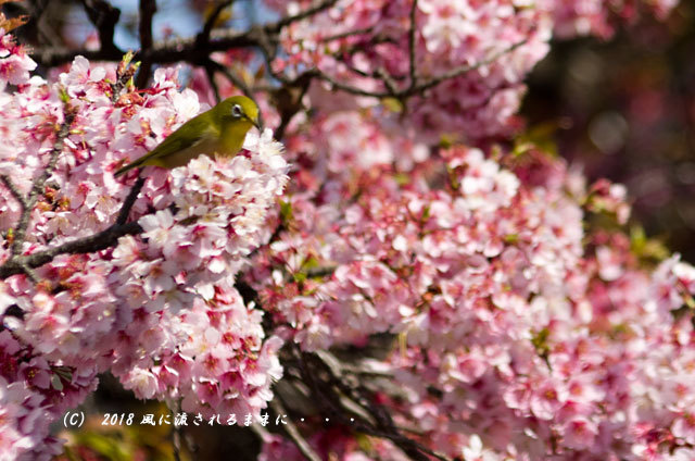 京都・JR桃山駅 早咲きの桜 2018年3月17日撮影11