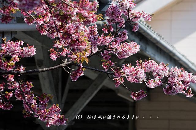 京都・JR桃山駅 早咲きの桜 2018年3月17日撮影7