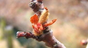 4591-340花梨の芽